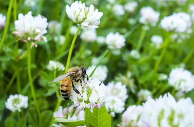 Honeybee on Dutch White Clover