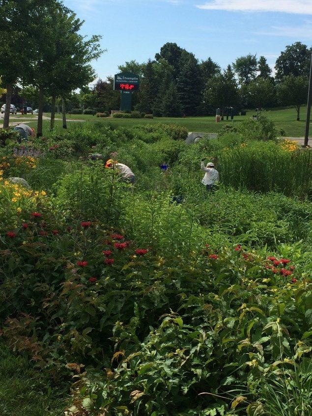Conservation Corps crew maintains Champlin raingarden